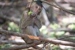 Äta för apor royaltyfria bilder