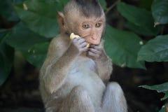 Äta för apor arkivfoton