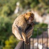 Äta för Barbary macaque fotografering för bildbyråer