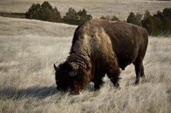 äta för bison royaltyfri bild