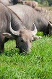 äta för buffel royaltyfria foton