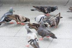 Äta för duvor Royaltyfri Fotografi