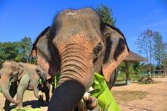 Äta för elefant arkivbild