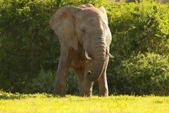 Äta för elefant Royaltyfri Foto