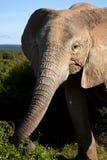 Äta för elefantko Arkivfoton