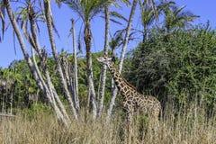 Äta för giraff Royaltyfria Foton