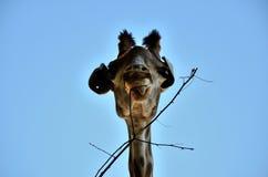 Äta för giraff Arkivfoto