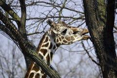 Äta för giraff Royaltyfri Foto