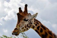 Äta för giraff Fotografering för Bildbyråer