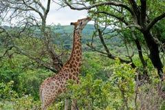 Äta för giraff Royaltyfria Bilder