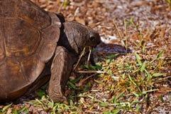 Äta för goffersköldpadda royaltyfri foto