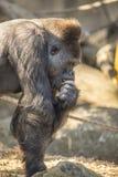 Äta för gorilla Arkivbilder