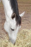 Äta för häst Arkivfoto