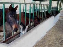 Äta för hästar arkivfoto