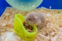 Äta för hamster Royaltyfri Foto