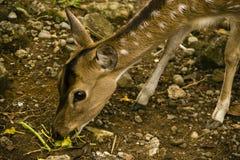 äta för hjortar Arkivfoto