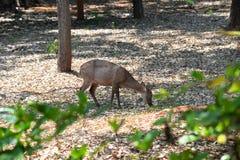 Äta för hjortar Arkivfoton