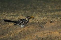 Äta för Hornbill arkivfoto