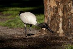 Äta för ibis Arkivfoto