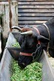 Äta för ko royaltyfri fotografi