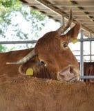äta för ko Arkivbild
