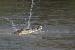 Äta för krokodil royaltyfri foto