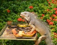 Äta för leguan Royaltyfria Bilder