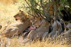 Äta för lejon arkivbilder