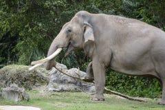 Äta för Miami zooelefanter Arkivbilder