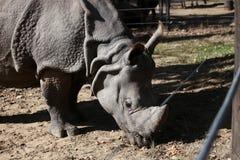 Äta för noshörning Royaltyfri Bild