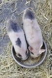 Äta för Piglets Arkivbilder