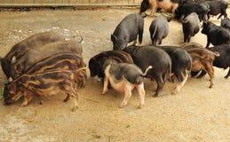 Äta för Pigs Royaltyfri Fotografi