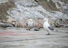 Äta för Seagull Arkivbild