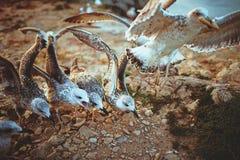 Äta för Seagulls Arkivfoto