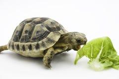 Äta för sköldpadda arkivbilder