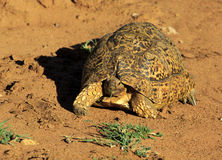 Äta för sköldpadda Arkivfoton