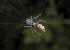 Äta för spindel Royaltyfria Foton