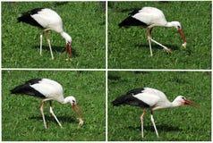 Äta för stork Royaltyfri Fotografi