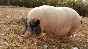 Äta för svin stock video