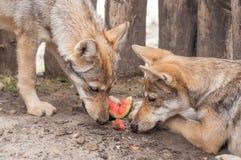 Äta för vargvalp Fotografering för Bildbyråer