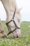 Äta för vit häst Arkivfoton