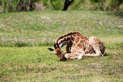 äta giraffbarn Royaltyfri Foto