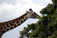 äta giraffet Arkivbilder