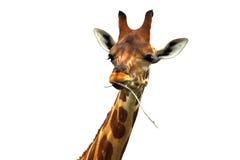 äta giraffleaves Arkivfoto
