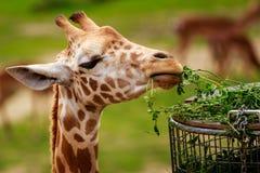 äta giraffleaves Royaltyfri Bild