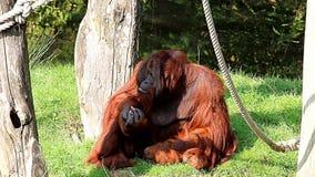Äta glupskt den manliga Bornean orangutanget lager videofilmer