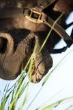 äta gräshästen Arkivfoto