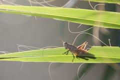 Äta gräshoppan Arkivbild
