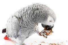 äta gråa jacopapegojavalnötter fotografering för bildbyråer