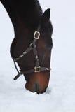 äta hästsnow Royaltyfria Bilder
